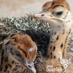 curacao-ostrich-farm-17
