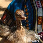 curacao-ostrich-farm-18